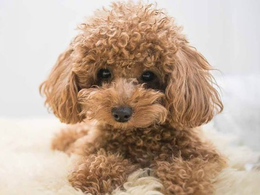Teacup Poodle in the UK
