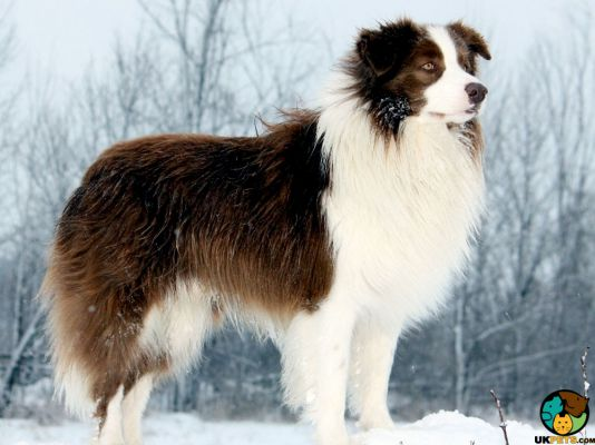 Border Collies in Great Britain
