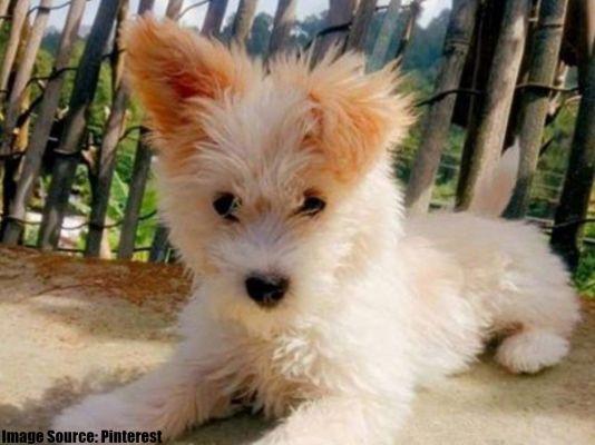 Corgipoo Puppy
