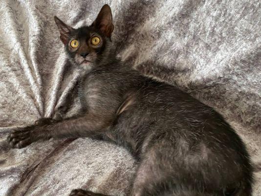 Lykoi Kitten