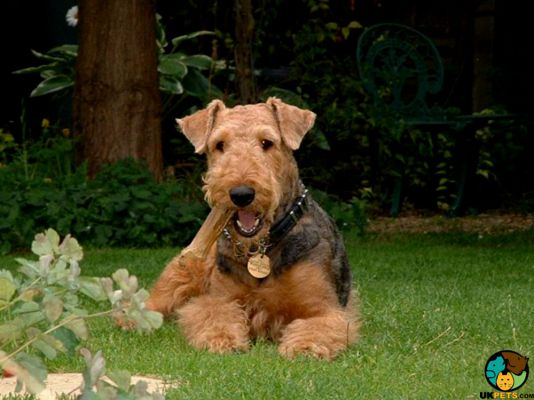 Airedale Terriers in the UK