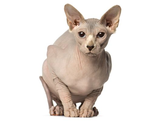Sphynxes in Great Britain
