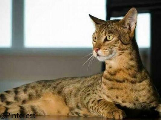 Ashera Cats in Great Britain