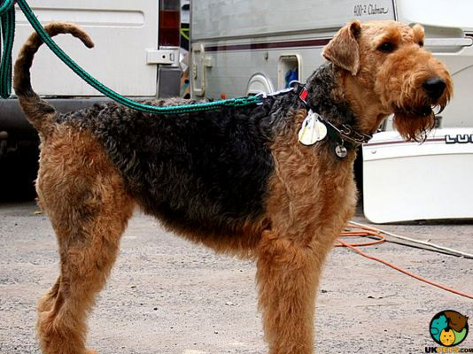Airedale Terrier in the UK