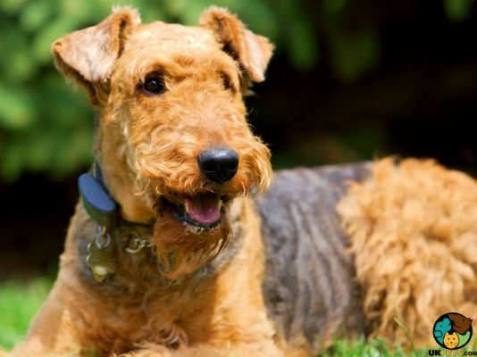 Airedale Terrier in Great Britain