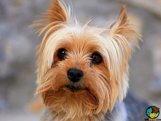 Yorkshire Terriers in Great Britain