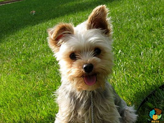 Yorkshire Terrier Dogs