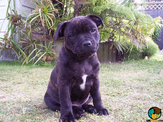 Staffordshire Bull Terriers in the UK
