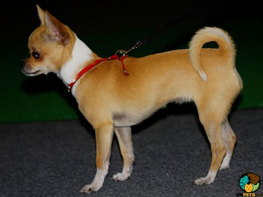 Chihuahuas in Great Britain
