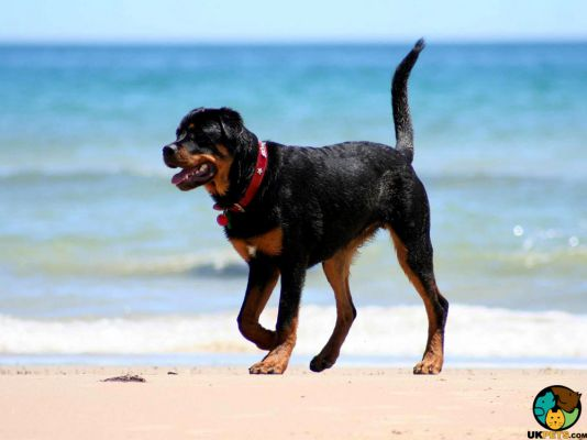 Rottweiler in Great Britain