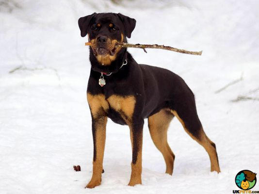Rottweiler in the UK
