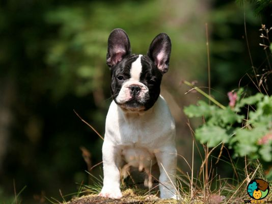 French Bulldogs in the UK