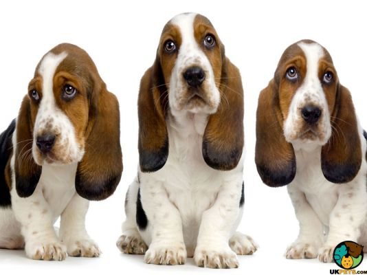 Basset Hounds in Great Britain
