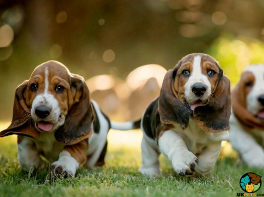 Basset Hounds in the UK