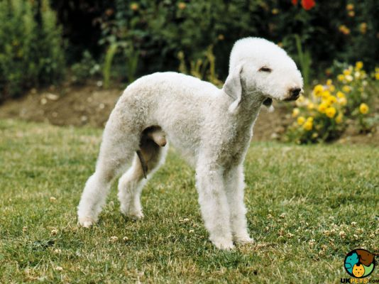 Bedlington Terrier in Great Britain