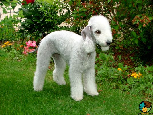 Bedlington Terriers in the UK