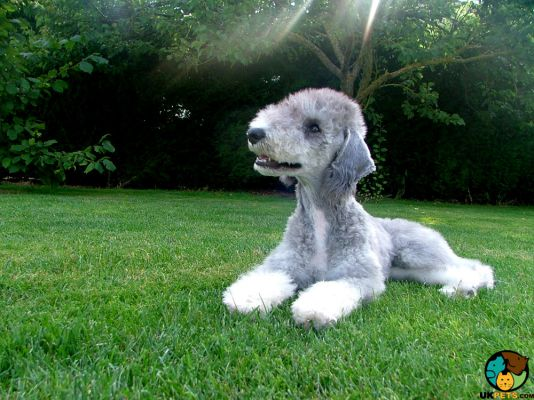 Bedlington Terrier in the UK