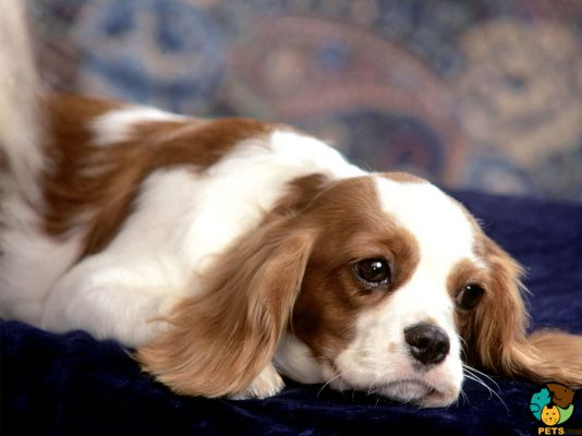 Cavalier King Charles Spaniel in Great Britain