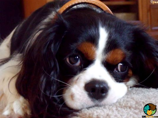 Cavalier King Charles Spaniels in the UK