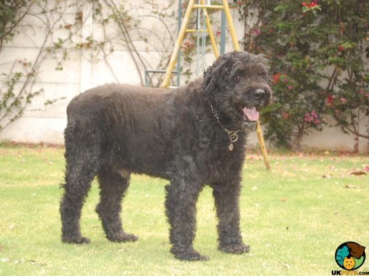 Bouvier Des Flandres in the UK