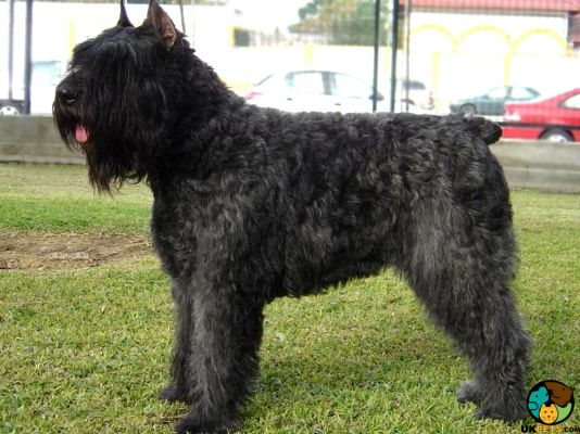 Bouvier Des Flandres in Great Britain