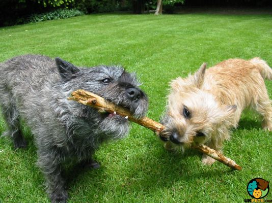 Cairn Terrier in Great Britain