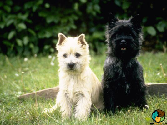 Cairn Terriers in Great Britain