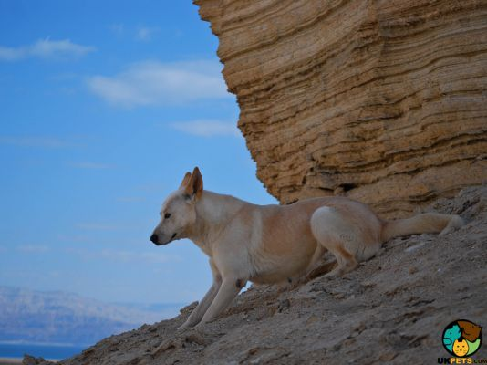 Canaan Dog in Great Britain