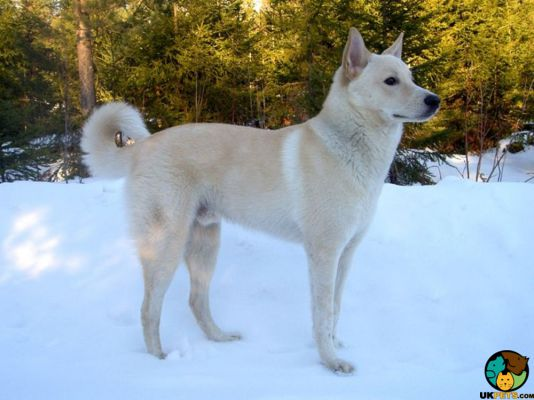 Canaan Dogs in the UK