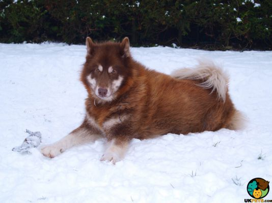 Canadian Eskimo Dogs in the UK