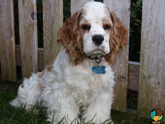 Clumber Spaniel in Great Britain