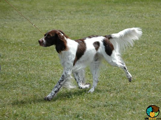 Brittany Spaniels in the UK