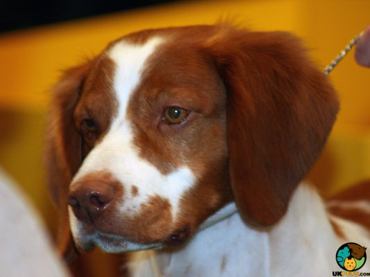 Brittany Spaniel in Great Britain