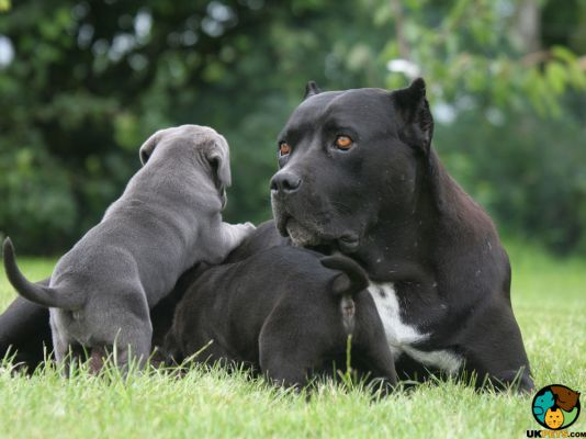 Cane Corso in Great Britain