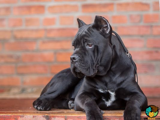 Cane Corso in the UK