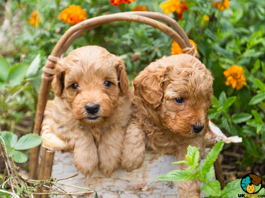 Goldendoodle Dogs