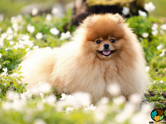 Pomeranian in Great Britain