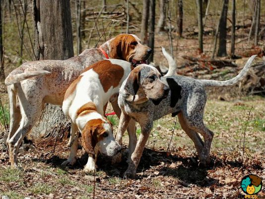 Coonhound in the UK