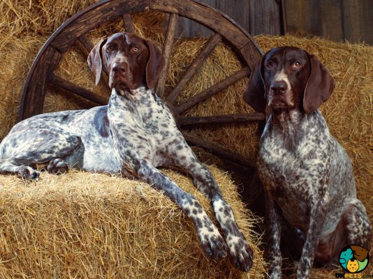 Coonhounds in Great Britain
