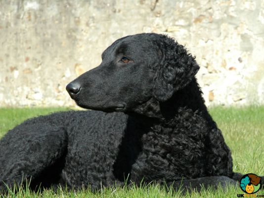Curly Coated Retrievers in the UK