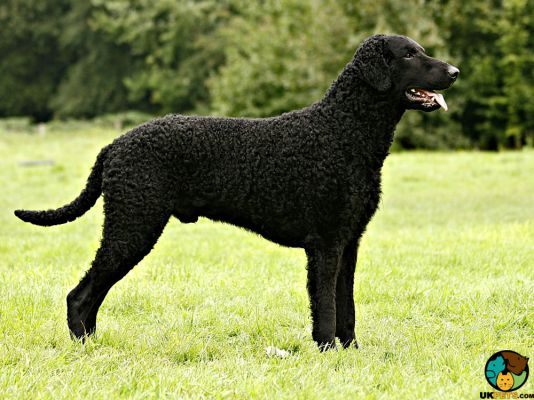 Curly Coated Retrievers