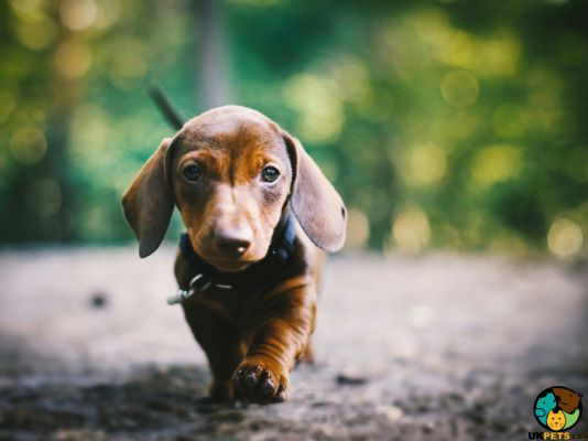 Dachshunds in the UK