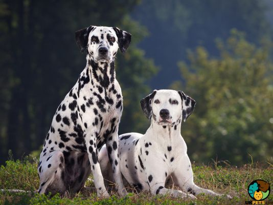 Dalmatians in Great Britain