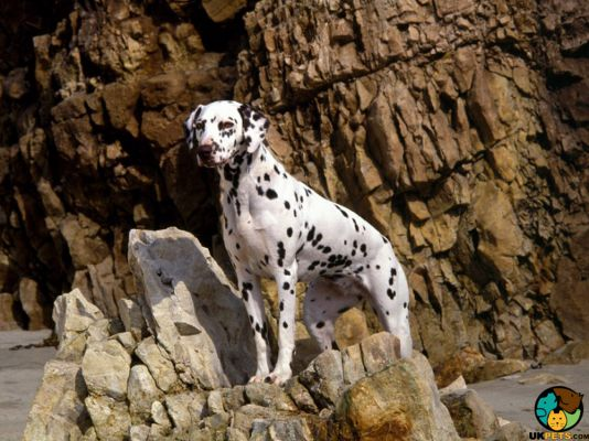 Dalmatian in the UK