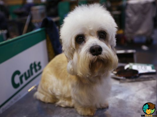 Dandie Dinmont Terrier in the UK