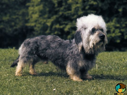 Dandie Dinmont Terriers in the UK