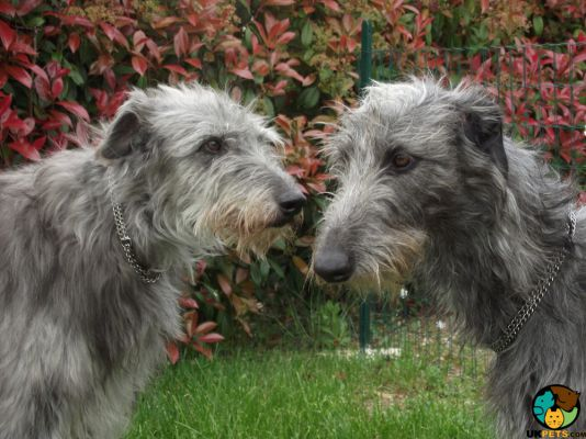 Deerhounds in Great Britain