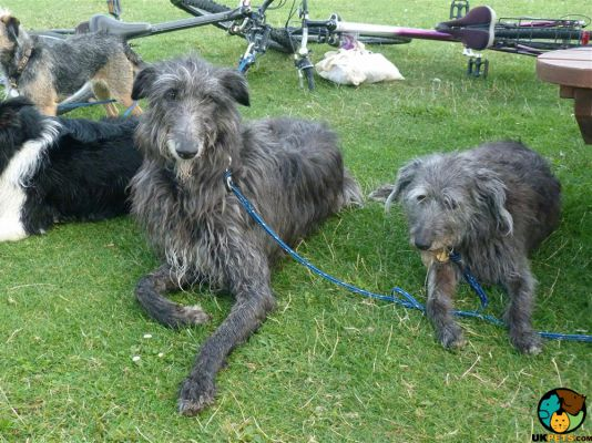 Deerhounds in the UK