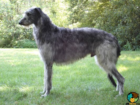 Deerhound in the UK