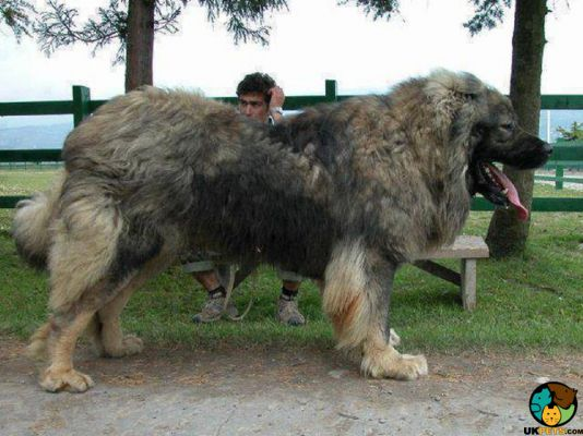 Caucasian Shepherd Dog in the UK